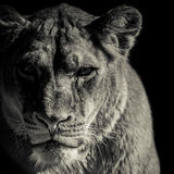 Löwinporträt Stockfotos