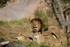 lwy Obrazy Stock