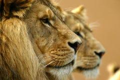 lwy Zdjęcia Stock