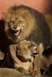 lwy zdjęcie royalty free