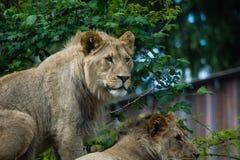 lwy Zdjęcia Royalty Free