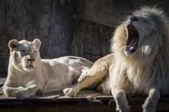 lwy białe obraz royalty free