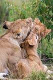Lwy cieszy się each inny zdjęcia stock