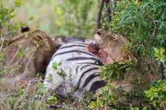 Lwy dalej zabijają Południowa Afryka Zdjęcia Royalty Free