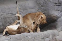 lwy figlarnie obraz stock