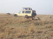 Lwy grupują safari parka Zdjęcia Royalty Free