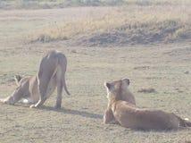 Lwy grupują safari parkowy Tanzania Zdjęcie Royalty Free