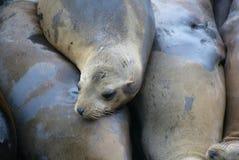 lwy morskie Zdjęcia Stock