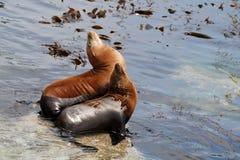 lwy morskie kalifornii Fotografia Royalty Free