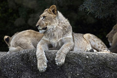 Lwy na skale obrazy royalty free