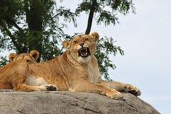 Lwy na skale Obrazy Stock