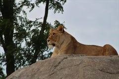 Lwy na skale Zdjęcie Royalty Free
