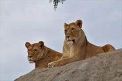 Lwy na skale Fotografia Stock