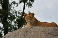 Lwy na skale Zdjęcia Royalty Free