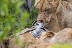 Lwy na zwłoka w Południowa Afryka Obraz Stock