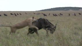 Lwy pomyślnie tropią wildebeest zbiory wideo