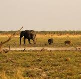 Lwy Tropi dziecko słonia Obraz Royalty Free