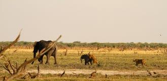 Lwy Tropi dziecko słonia Fotografia Royalty Free