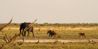 Lwy Tropi dziecko słonia Obraz Stock
