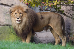 Lwy w Afryka Fotografia Royalty Free