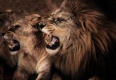 Lwy w cyrku fotografia stock