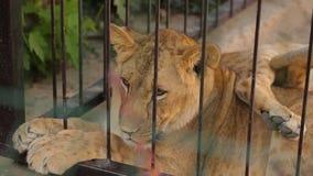 Lwy w klatce Lwica jest odpoczynkowa w zoo wolierze, grupa lwy odpoczywa w wolierze zdjęcie wideo