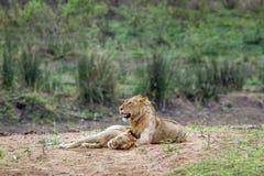 Lwy w Kruger parku narodowym, Południowa Afryka Obrazy Royalty Free