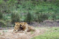Lwy w Kruger parku narodowym, Południowa Afryka Fotografia Stock