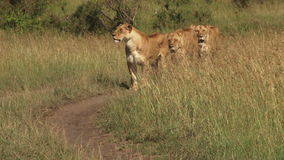 Lwy w Mara równinach zbiory wideo