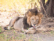 Lwy w Tarangire parku narodowym, Tanzania Zdjęcie Stock