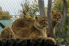Lwy w Wiedeń zoo Zdjęcia Royalty Free