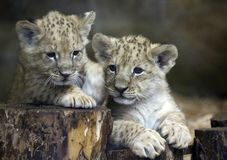 Lwy w zoo St Petersburg Fotografia Stock