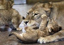 Lwy w zoo St Petersburg Zdjęcie Stock