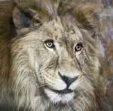 Lwy w zoo St Petersburg Obraz Stock