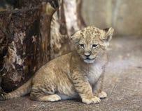 Lwy w zoo St Petersburg Obrazy Royalty Free