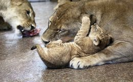 Lwy w zoo St Petersburg Zdjęcia Royalty Free