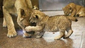 Lwy w zoo St Petersburg Zdjęcie Royalty Free