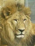 Lwy w zoo St Petersburg Fotografia Royalty Free