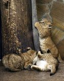 Lwy w zoo St Petersburg Obrazy Stock
