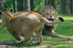 lwy walczące Obraz Royalty Free