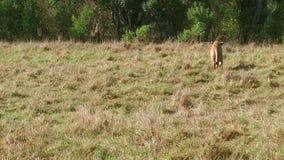 Lwy z lisiątkiem bawić się w sawannie przy Afryka zbiory