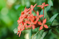 Lxora flower. West Indian Jasmine, Ixora chinensis Lamk Stock Image