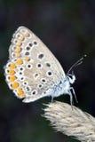 lycaedes бабочки Стоковые Фотографии RF