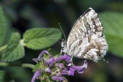 lycaedes цветка бабочки Стоковое Фото