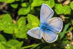 lycaedes цветка бабочки Стоковая Фотография RF