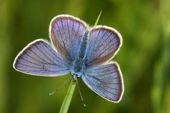 lycaena бабочки argus Стоковое Изображение RF