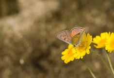 Lycaena alciphron Stock Photos