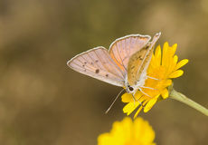 Lycaena alciphron Royalty Free Stock Photos