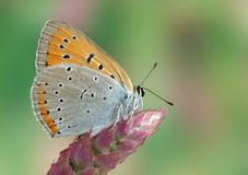 Lycaena (Chrysophanus) dispar rutilus royalty free stock photography