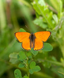 Lycaena (Chrysophanus) dispar rutilus (female) Stock Photos